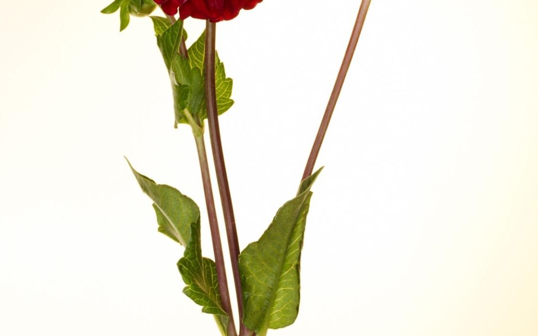 Red Dahlia I